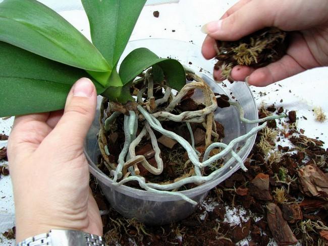 Коли та як правильно пересаджувати орхідею